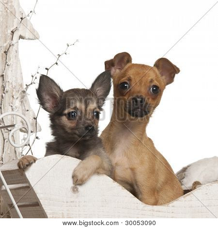 Chihuahua puppies, 4 months and 3 months old, in Christmas sleigh in front of white background