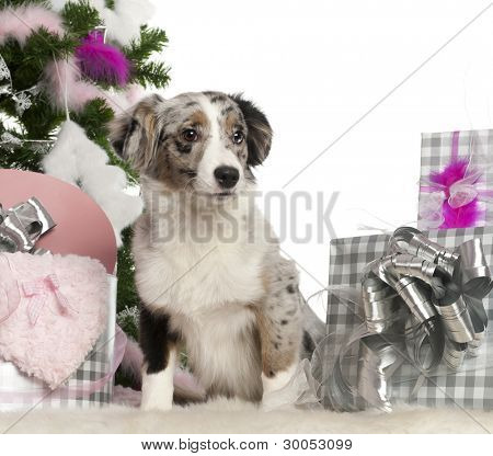 Miniature Australian Shepherd puppy, 5 months old, with Christmas tree and gifts in front of white background