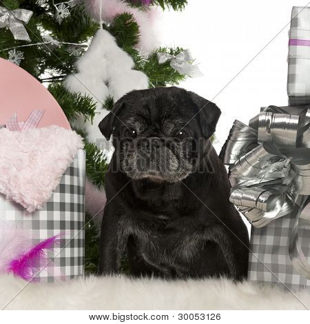 Pug, 13 years old, with Christmas tree and gifts in front of white background