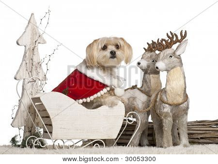 Mixed-breed dog, 5 years old, in Christmas sleigh in front of white background