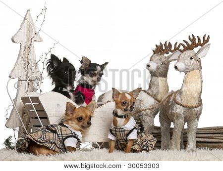 Chihuahuas in Christmas sleigh in front of white background