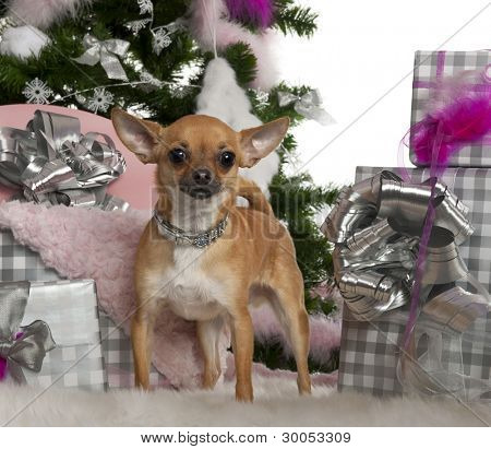 Chihuahua, 15 months old, with Christmas tree and gifts in front of white background