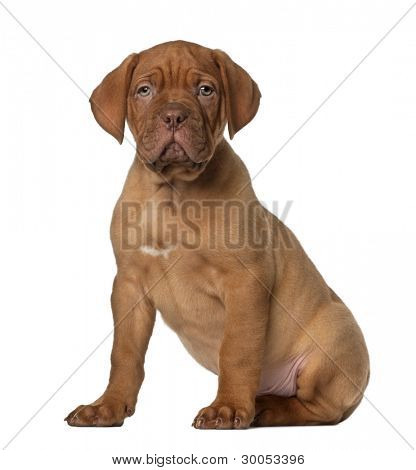 Dogue de Bordeaux puppy, 8 weeks old, sitting in front of white background