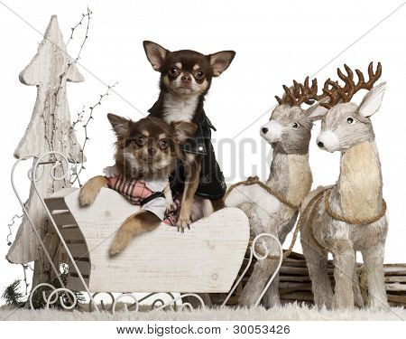 Chihuahua, 2 years old, and Chihuahua, 7 months old, in Christmas sleigh in front of white background