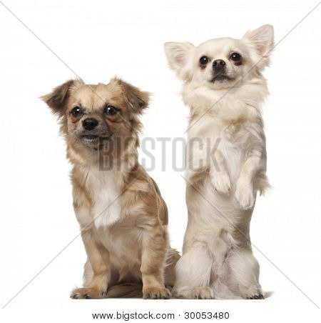 Chihuahua, 18 months old, and Chihuahua puppy, 6 months old, on hind legs in front of white background