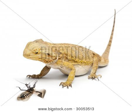 Central Bearded Dragon, Pogona vitticeps, looking at a Cockroach in front of white background