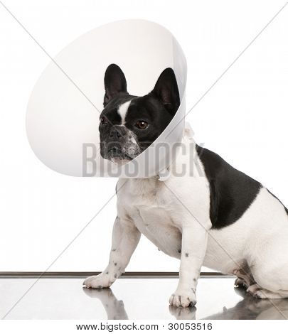 French Bulldog wearing a space collar against a white background