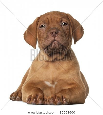 Dogue de Bordeaux puppy, 8 weeks old, lying in front of white background