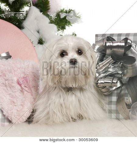 Maltese, 7 months old, with Christmas tree and gifts in front of white background