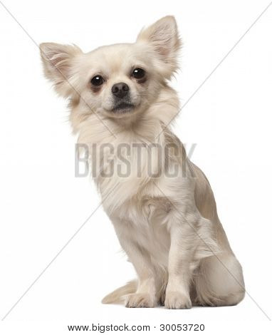 Chihuahua, 18 months old, sitting in front of white background