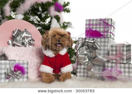 Poodle, 4 years old, with Christmas tree and gifts in front of white background