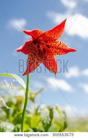 A Rare Red Speckled Lily In The Roan Mountain Highlands