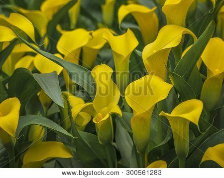Yellow Vibrant Flowers Of Zantedeschia Sunclub, Arum Lily, Calla Lily, Calla. Herbaceous, Perennial,
