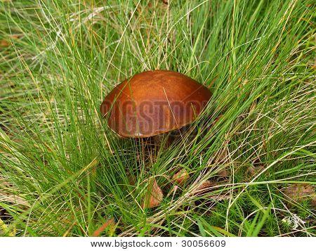Birch mushroom, the Karelian margin