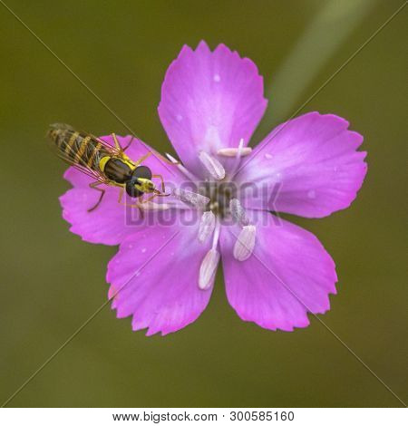 Maiden Pink (dianthus Deltoides) With Hoverfly Resting On Flower
