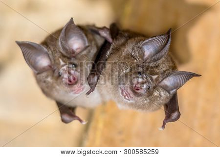 Two Greater Horseshoe Bat (rhinolophus Ferrumequinum) Occurs In Europe, Northern Africa, Central Asi