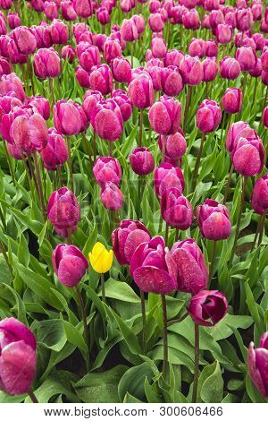 Small Yellow Tulip Has Ended Up Among Larger Purple Peers At A Large Dutch Bulb Nursery. The Deviati