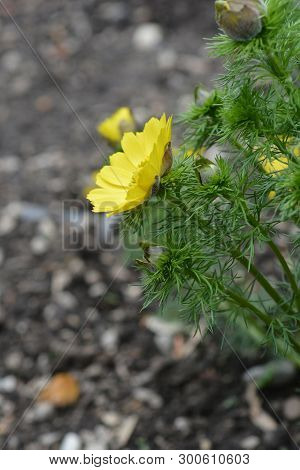 Yellow Pheasants Eye - Latin Name - Adonis Vernalis