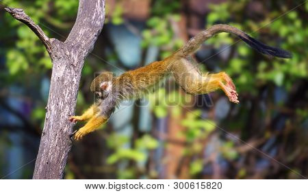 Common Squirrel Monkey, Also Called Saimiri Sciureus, Jumping From One Tree To Another
