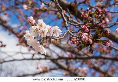 Close Up Cherry Blossom Or Sakura In Japan