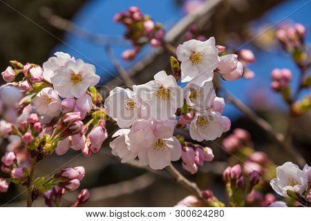 Close Up Cherry Blossom Or Sakura In Japan.
