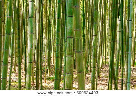 Bamboo Forest In Arashiyama, Kyoto, Japan For Background