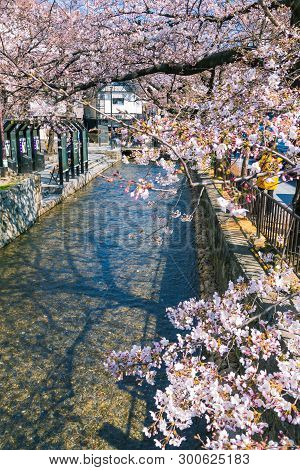 Takase River, The Famous Spot To View Cherry Blossom Or Sakura In Kyoto, Japan.
