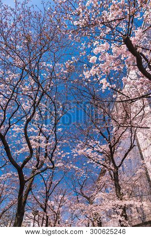Beautiful Cherry blossom or sakura in old downtown Kyoto, Japan.
