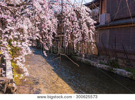 Beautiful Cherry Blossom In Historic Gion Shirakawa District, Kyoto, Japan