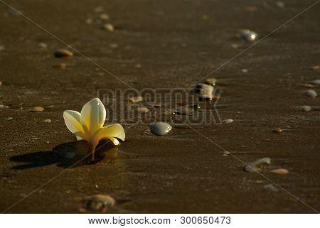 Frangipani Flowers Fall On The Sandy Beach With Rocks And Shells