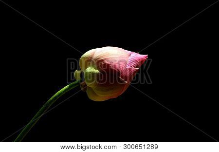 Freshness Pink Color Lotus Flower In The Shadow