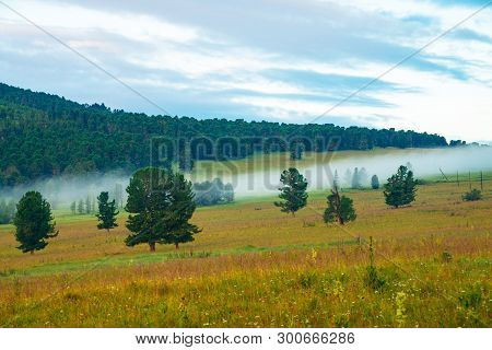 Old Cedars. Foggy Mountain Landscape With Coniferous Trees In Grassland. Small Pink Flowers In Grass