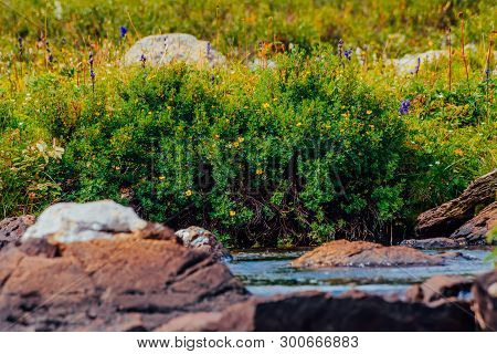 Bush With Blooming Yellow Flowers Of Silverweed Near Spring Water With Stones Close-up. Medical Plan