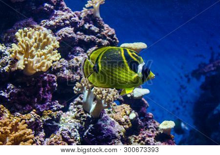 Raccoon Butterflyfish Sea Fish. Tropical Yellow-green Fish Among Corals