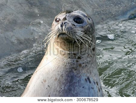 Lake Baikal Seal Or Nerpa (pusa Sibirica) On The Shore Of The Lake. The Baikal Seal Lives Only In Th