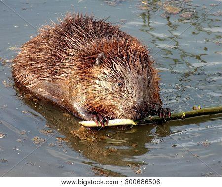 Ordinary Beaver, Or River Beaver (latin Castor Fiber) Is A Semi-aquatic Mammal Of The Order Of Roden