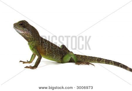 Water Dragon Lizard