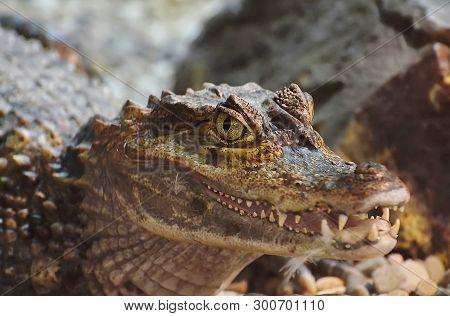 Crocodile (lat. Crocodilia) Are Large Aquatic Reptiles. Teeth Of The Crocodile. Crocodiles Live Thro