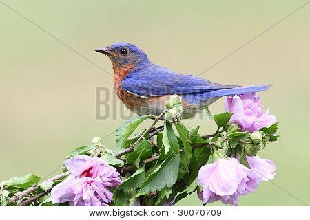 Male Eastern Bluebird (Sialia sialis) on a hibiscus bush poster