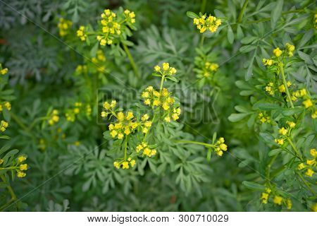 Common Rue With Flowers, Ruta Graveolens, In Garden, Selected Focus.