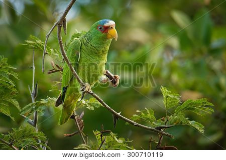 White-fronted Amazon Or White-fronted Parrot - Amazona Albifrons Or Spectacled Amazon Parrot, Is A C