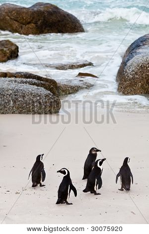 Black-footed african penguins walking on the boulders beach poster