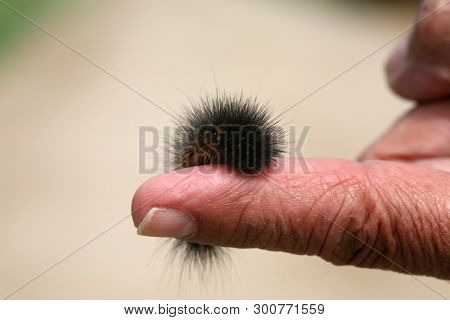 Tiger Moth Caterpillar. Scientific Name