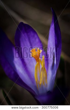 Violet Flower With Yellow Stamen Close Up. Harmony Of Color And Shape. Summer Macro Landscape In Bri