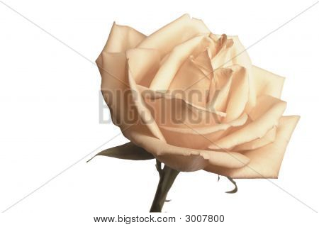 close-up of gentle rose of cream color with proveins and fragile petals poster