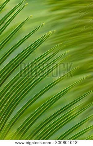 Beautiful Texture Of Close-up Cycad Leaves Using For Background