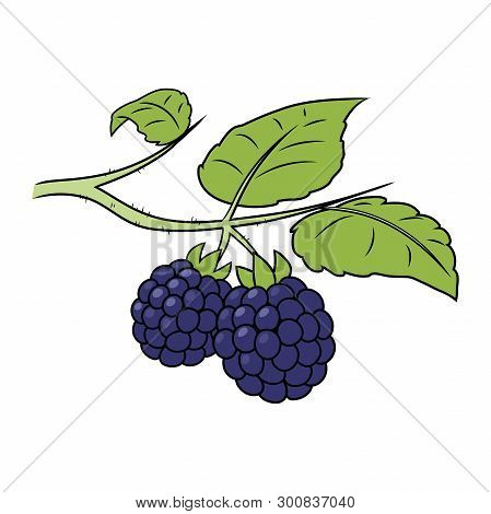 Illustration Of A Blackberry On A Branch On A White Background