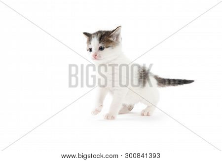 Cute Baby White Tabby Kitten Isolated On White Background