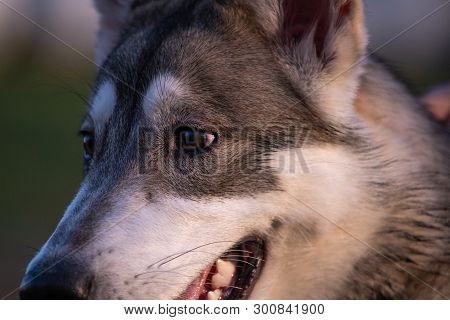 Portrait Of A Six-month-old Siberian Husky Outdoors