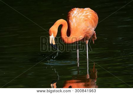 Captive Pink Flamingos In A Wading Pond At A Zoo In Midwest United States.
